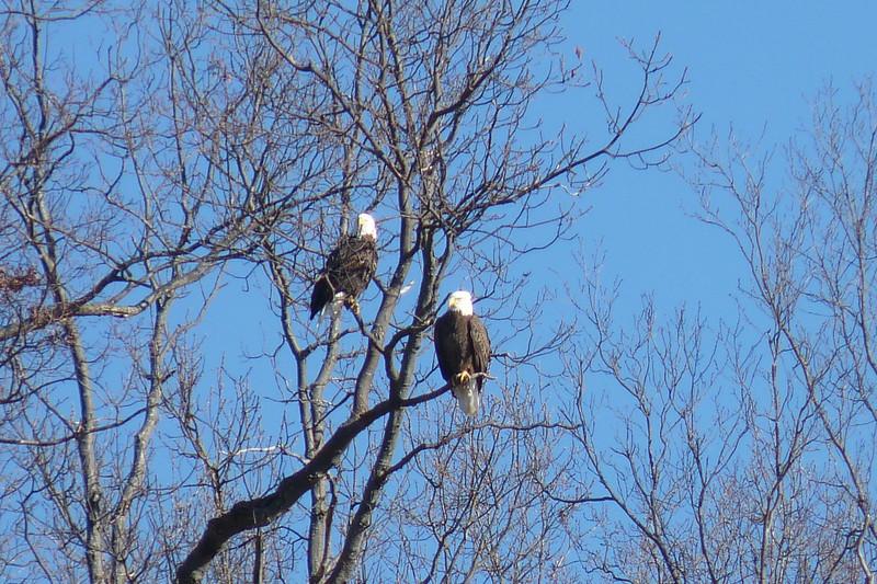 Bald Eagles - Kentucky Lake