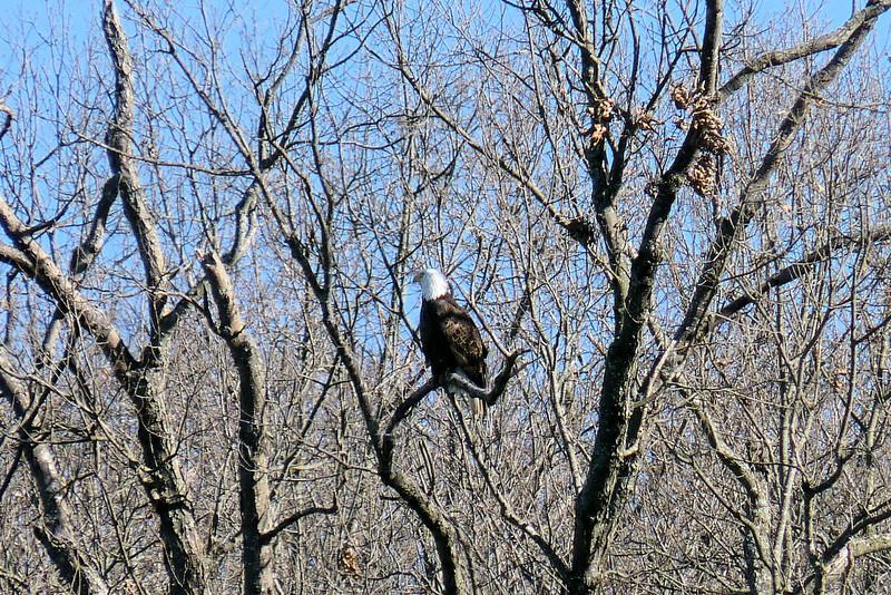 Bald Eagle on the shore of Kentucky Lake
