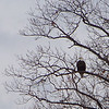 Adult Bald Eagle.  LBL Eagle Watch, January 2010
