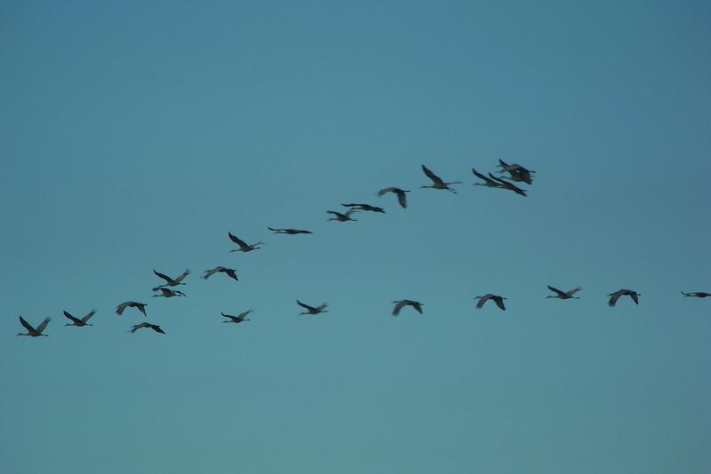 Sandhill Cranes in flight; still on Franklin Crossroads road.