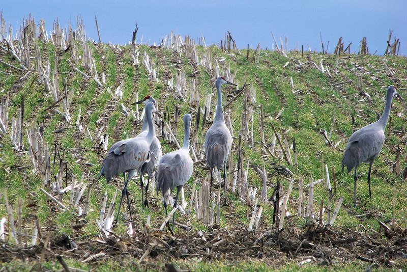 Sandhill Cranes on Hardinsburg Road
