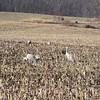 Sandhill Cranes on Hardinsburg Road