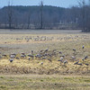 February 18, 2011:  Patti drove the country roads surrounding the small town of Cecilia, Kentucky in search of Sandhill Cranes.  Success is almost immediate!