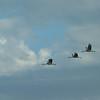 My last Sandhill Crane flyover