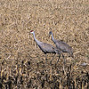 On Hardinsburg Road (a.k.a KY 86), near the fire station, there were groups of cranes very close to the road.  I didn't want to spook them, so I snapped some photos from inside the car.