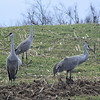Sandhill Cranes on Hardinsburg Road; they seemed fairly unconcerned with the stopped car.  Happily my point-and-shoot camera has a nice amount of zoom.