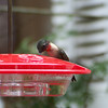 Another visit from an adult male Ruby-throated Hummingbird is lovely.