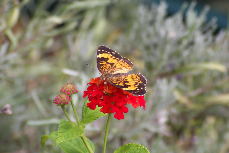 This little guy also enjoyed the Lantana; he's a Silvery Checkerspot (Chlosyne nycteis)