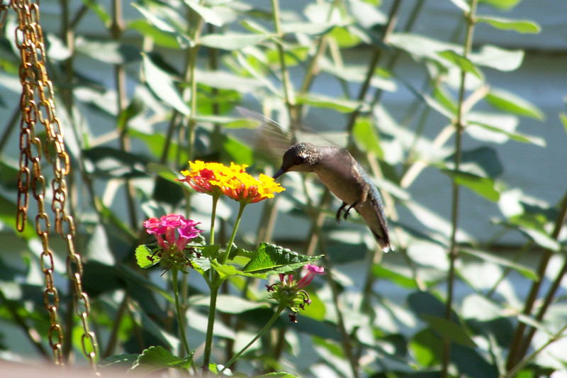 Ruby-throated Hummingbird and Lantana