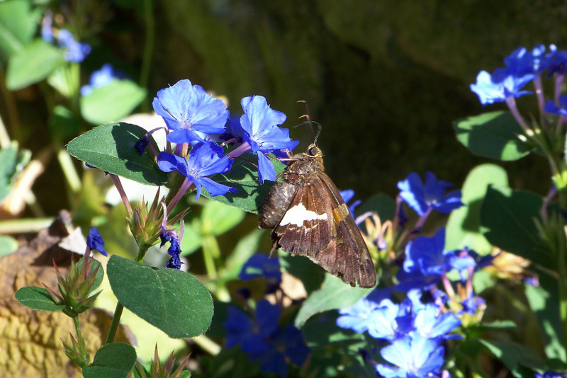 Silver-spotted Skipper (Epargyreus clarus) and Blue Plumbago (Ceratostigma plumbaginoides).  If you can expand this photo to a larger size you can see that he has a very huge and strange eye and a proboscis in the air!