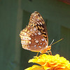 Great Spangled Fritillary (Speyeria cybele) likes the Zinnia