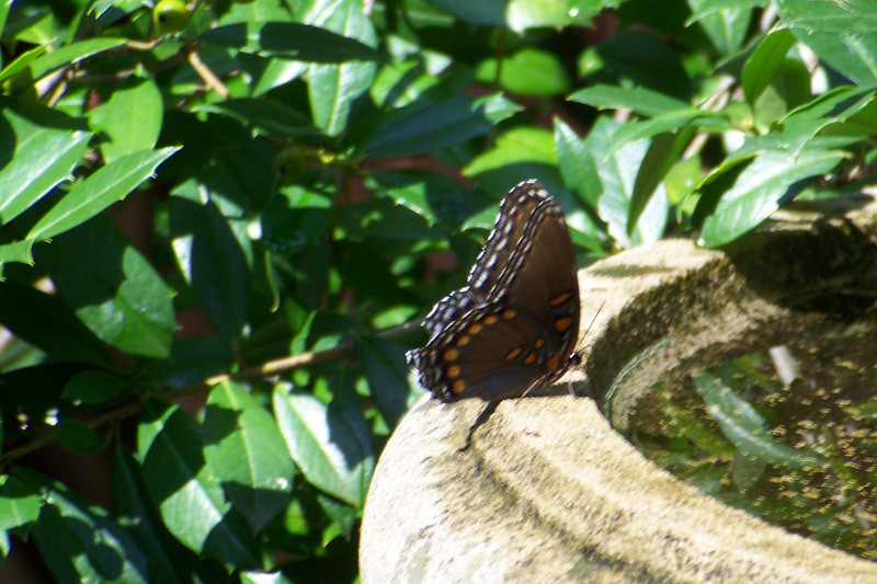 This butterfly is a Red-spotted Purple (Limenitis arthemis)
