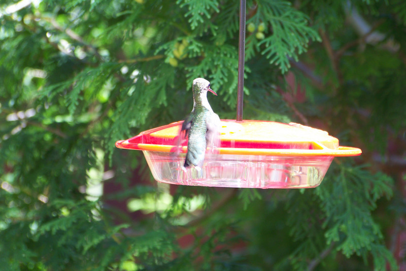 Once the peak hummingbird migration season sets in, Patti gets out the camera!  August 20, 2010