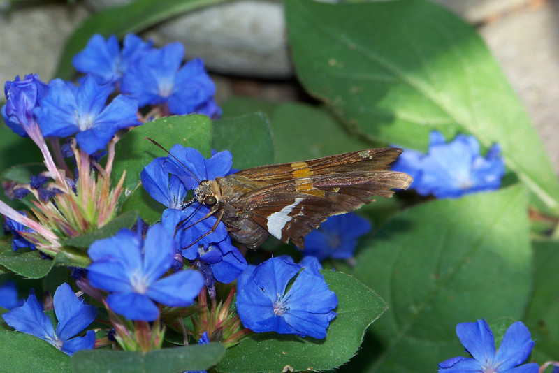 Silver-spotted Skipper (Epargyreus clarus) on Blue Plumbago (Ceratostigma plumbaginoides).  If you enlarge the photo you can see his proboscis.