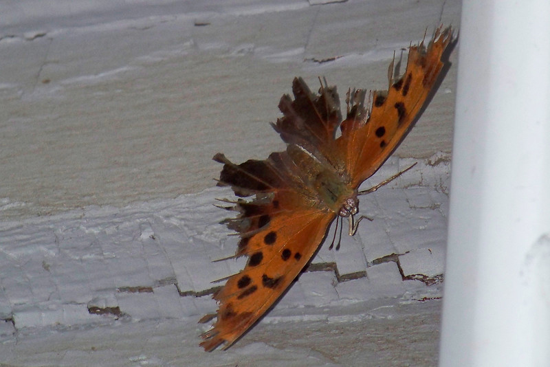 This bedraggled Question Mark butterfly looks like somebody took several bites before he managed to escape.