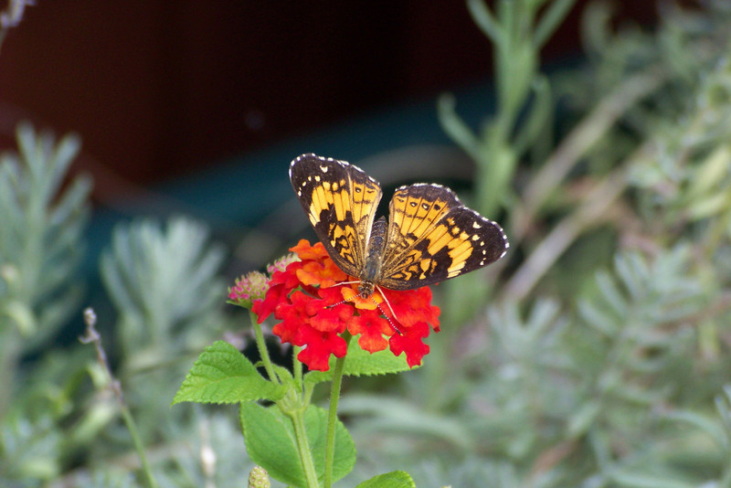 Silvery Checkerspot (Chlosyne nycteis) and Lantana