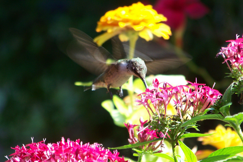 Ruby-throated Hummingbird feeding on Pentas