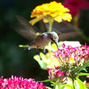Ruby-throated Hummingbird feeding on Pentas