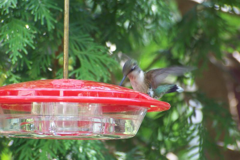 Hummingbird doing a ballerina imitation