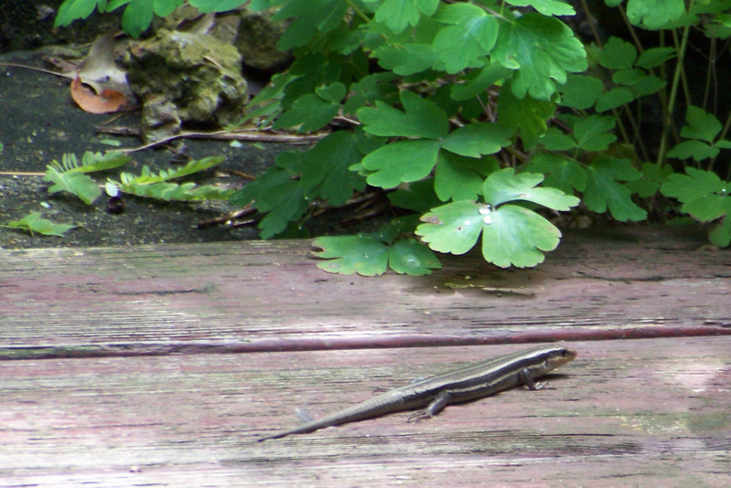 Our backyard skink was skittish and didn't make himself very photogenic this year, though we caught lots of looks at him as he was scurrying into the protective foliage.
