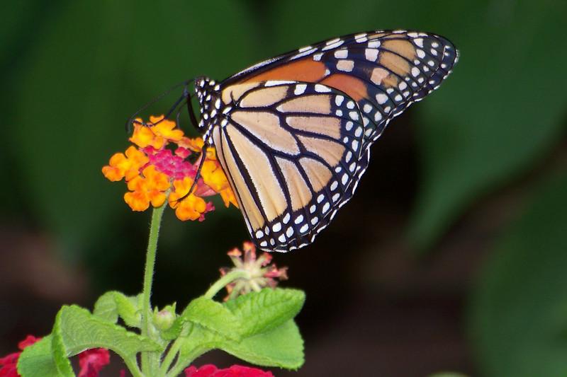 Monarch and Lantana