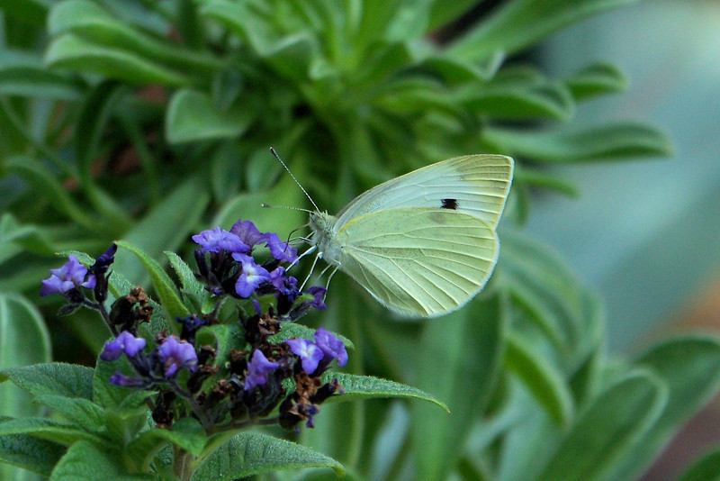 Cabbage White butterfly (Pieris rapae) hanging out on the Heliotrope