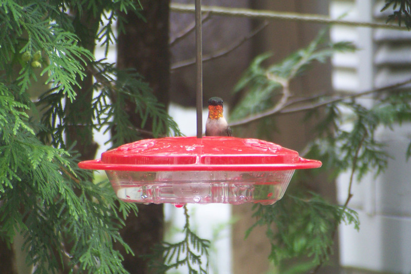 I had precious few sightings of adult Male Ruby-throated Hummingbirds, but it's always a thrill when they make an appearance!