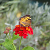 Silvery Checkerspot (Chlosyne nycteis) on Lantana