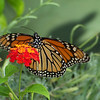 Monarch and Lantana