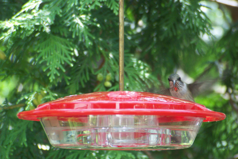 Another juvenile male Ruby-throated Hummingbird getting his big-boy feathers.