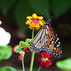 It was high-season for butterflies as well; the Monarchs were very fond of the Lantana.