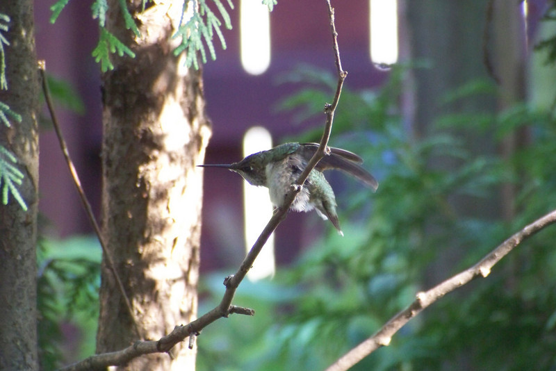 Ruby-throated Hummingbird with a fierce itch!