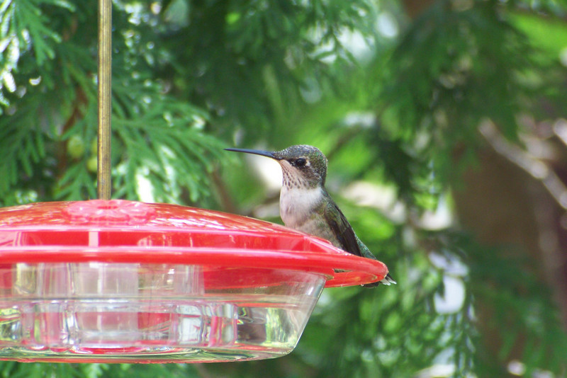 Can a hummingbird look pensive?