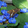 This was a new butterfly for the backyard: a Silver-spotted Skipper (Epargyreus clarus) who was very fond of my Blue Plumbago (Ceratostigma plumbaginoides).