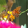 Gulf Fritillary (Agraulis vanillae) enjoying the zinnias