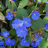 Blue Plumbago (Ceratostigma plumbaginoides)