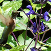 The Salvia Guaranitica (Black and Blue) was a big hit with the hummingbirds again this year.
