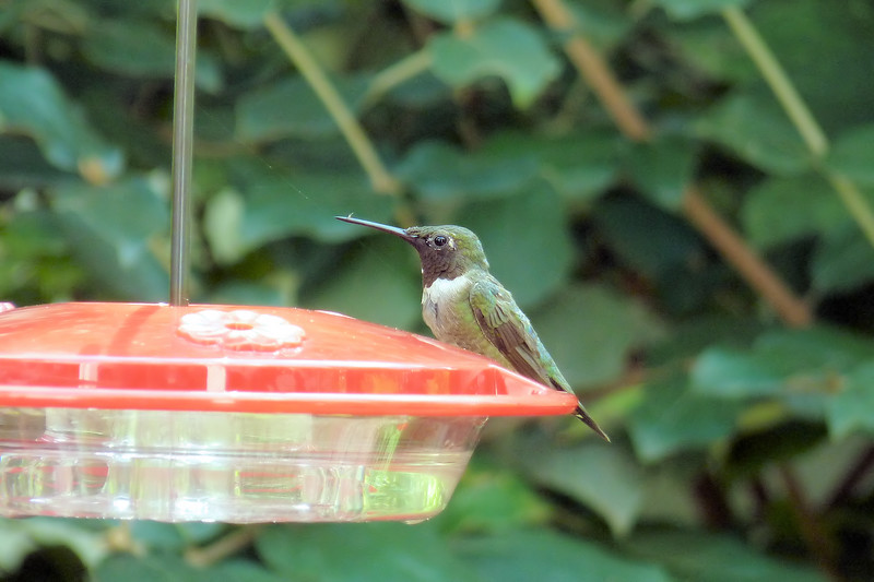 Another nice lesson in the joys of iridescence is the absence of color.  I love when he's looking away, and then turns his head back toward me -- the sudden flash of red takes my breath away!