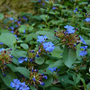This is one of my favorite perennial garden plants since it blooms July into October:  Blue Plumbago (Ceratostigma plumbaginoides)