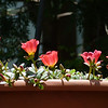 The Yubi portulaca, despite its color, didn't seem to attract the hummingbirds, but the bees enjoyed it.