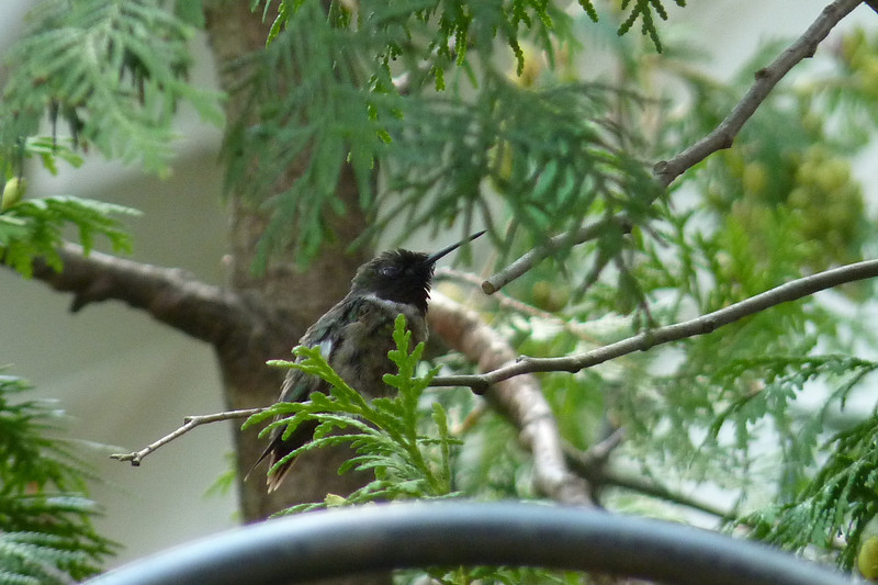 This male likes to guard the feeder from the shade of the nearby tree.