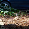 Patti caught Mrs. Robin and two fledglings wandering around the front yard.  The fledglings were begging from Mom.