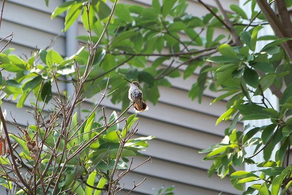 Little Ruby-throated Hummingbird hanging out, catching bugs, keeping an eye on the feeder.
