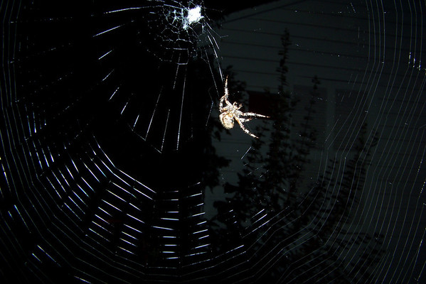 We caught Mrs. Spider in the act of weaving a fresh web...