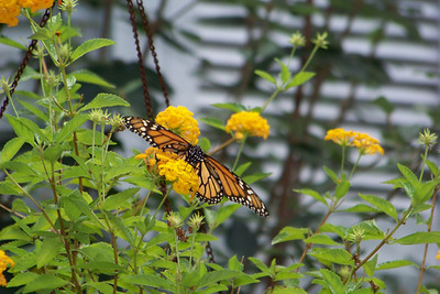 The butterflies are migrating too, and stopping by for a fillup.