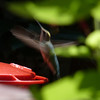 Backyard Hummingbird; August 12th, 2012