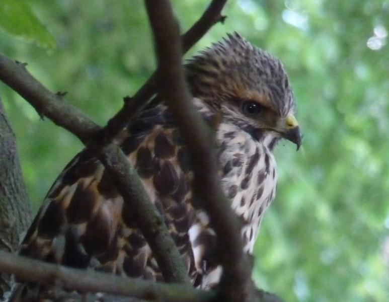 Red-shouldered Hawk?