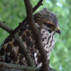 Red-shouldered Hawk?