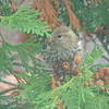 Pine Siskins!  October 27, 2012
