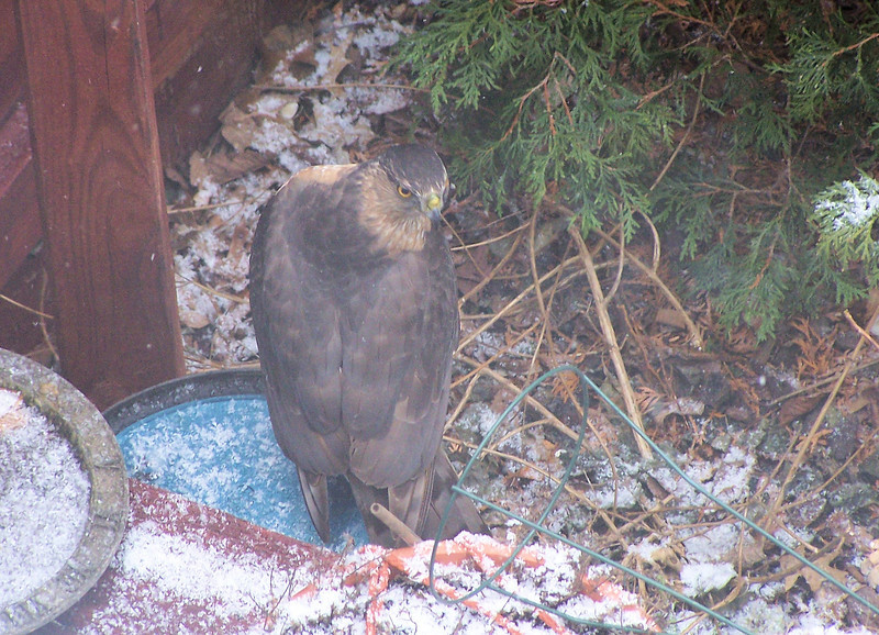 A beautiful adult Cooper's Hawk (we'd guess female, from her size) visited the back yard on January 22, 2005.